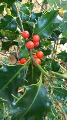 Wild Holly